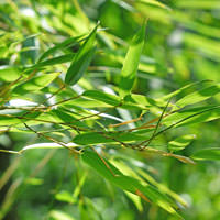Bamboo Leaf Cellular Extract - Bambusa vulgaris