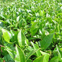 Green Tea Leaf Cellular Extract - Camellia sinensis