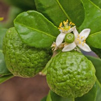 Kaffir Lime Cellular Extract - Citrus hystric Fruit