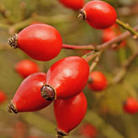 Rosehip Fruit Cellular Extract - Rosa canina