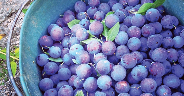 Bucket of Davidson Plums