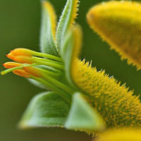 Kangaroo Flower Infused In Sunflower Oil - Anigozanthos flavidus (and) Helianthus annuus